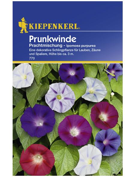 KIEPENKERL Prunkwinde, Ipomoea purpurea, Samen, Blüte: mehrfarbig