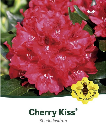 Rhododendron »Cherry Kiss«, rot, Höhe: 30 - 40 cm