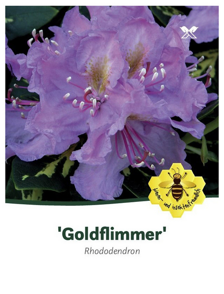 Rhododendron »Goldflimmer«, lila, Höhe: 30 - 40 cm