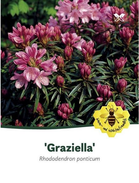 Rhododendron »Graziella«, rosa, Höhe: 30 - 40 cm