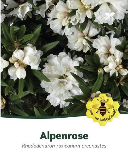 Rhododendron/großblumige Alpenrose, Rhododendron roxieanum oreonastes, weiß, Höhe: 30 - 40 cm