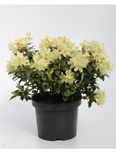 Rhododendron hanceanum »Princess Anne«, hellgelb, Höhe: 25 - 30 cm