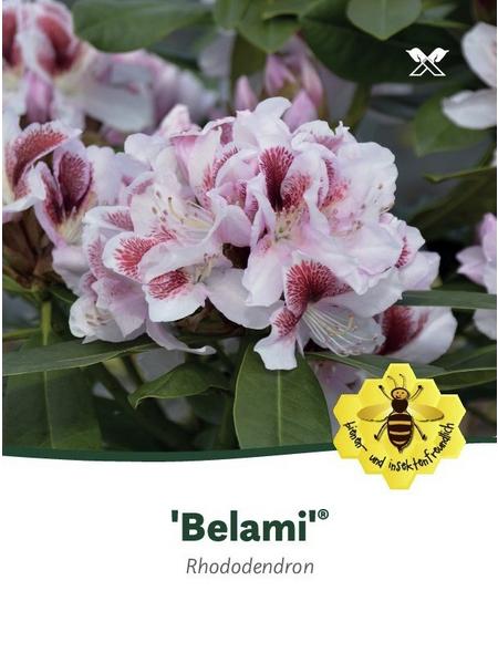 Rhododendron hybride »Belami«, weiß/rosa, Höhe: 30 - 40 cm