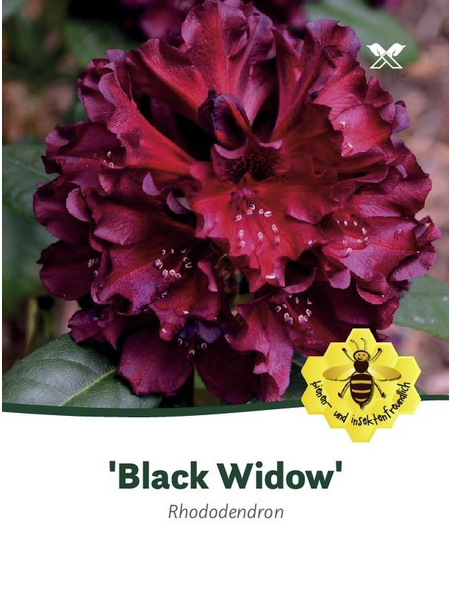 Rhododendron hybride »Black Widow«, dunkelrot, Höhe: 30 - 40 cm