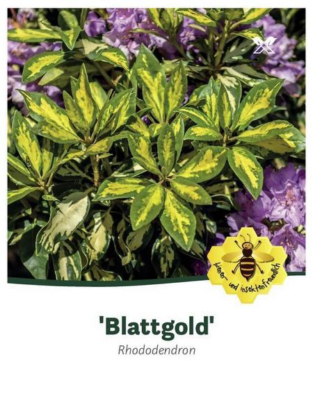 Rhododendron hybride »Blattgold«, lila, Höhe: 30 - 40 cm
