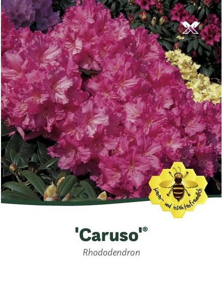 Rhododendron hybride »Caruso«, rosa/purpurfarben, Höhe: 30 - 40 cm