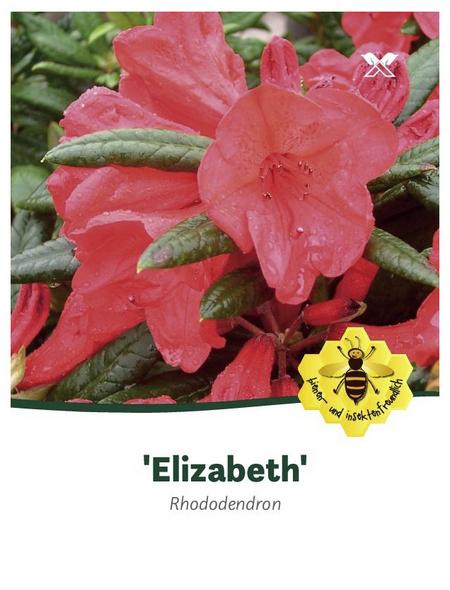 Rhododendron hybride »Elizabeth«, rosa/pink, Höhe: 30 - 40 cm
