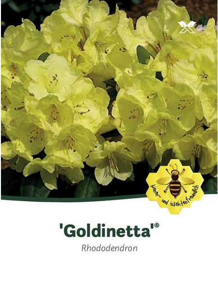 Rhododendron hybride »Goldinetta«, hellgelb, Höhe: 30 - 40 cm
