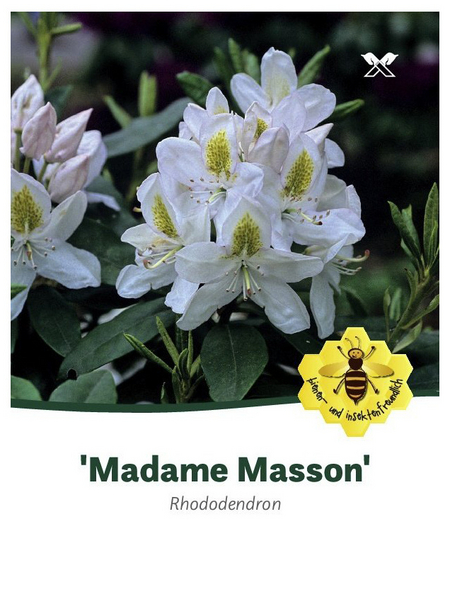 Rhododendron hybride »Madame Masson«, weiß, Höhe: 30 - 40 cm