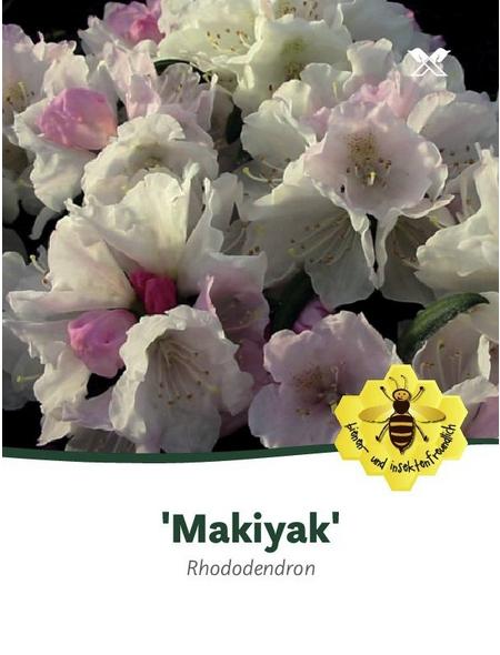 Rhododendron makinoi »Makiyak«, weiß/rosa, Höhe: 30 - 40 cm