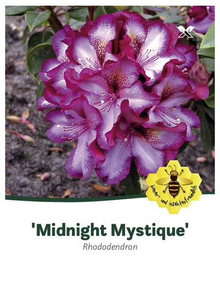 Rhododendron »Midnight Mystique«, rot/weiß, Höhe: 30 - 40 cm