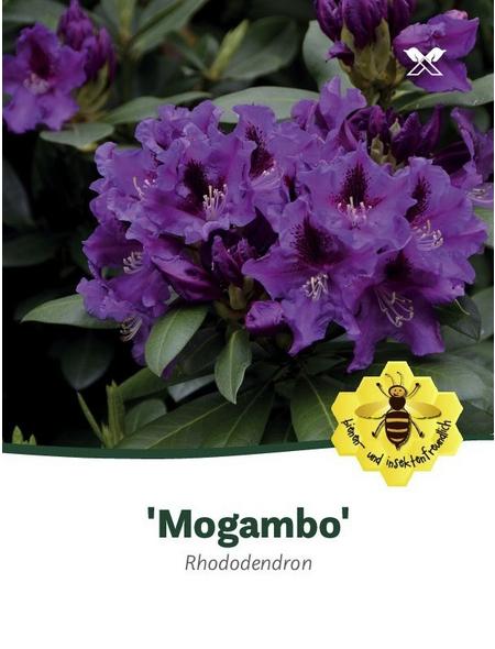 Rhododendron »Mogambo«, violett, Höhe: 30 - 40 cm