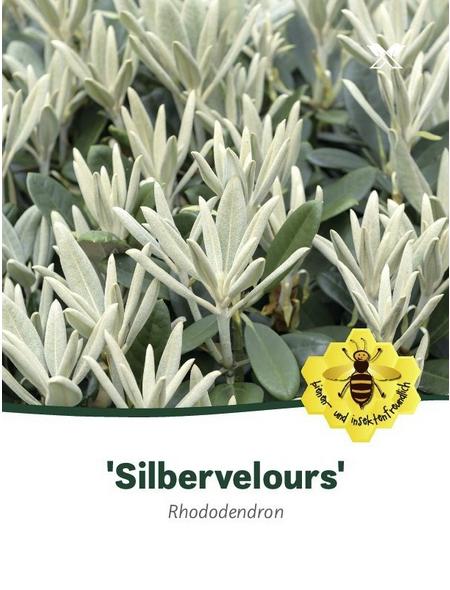 Rhododendron pachysanthum »Silbervelour«, weiß/rosa, Höhe: 30 - 40 cm