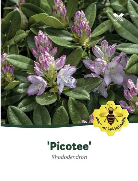 Rhododendron »Picotee«, zweifarbig, Höhe: 30 - 40 cm