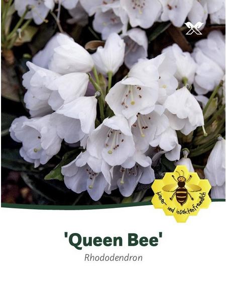 Rhododendron »Queen Bee«, weiß, Höhe: 30 - 40 cm