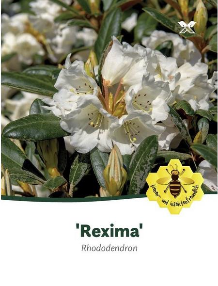 Rhododendron »Rexima«, weiß, Höhe: 30 - 40 cm
