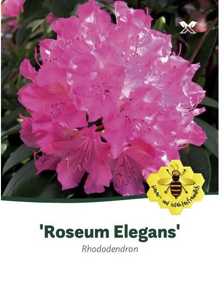 Rhododendron »Roseum Elegans«, rosa, Höhe: 40 - 50 cm