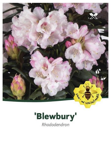Rhododendron roxieanum »Blewbury«, weiß, Höhe: 30 - 40 cm
