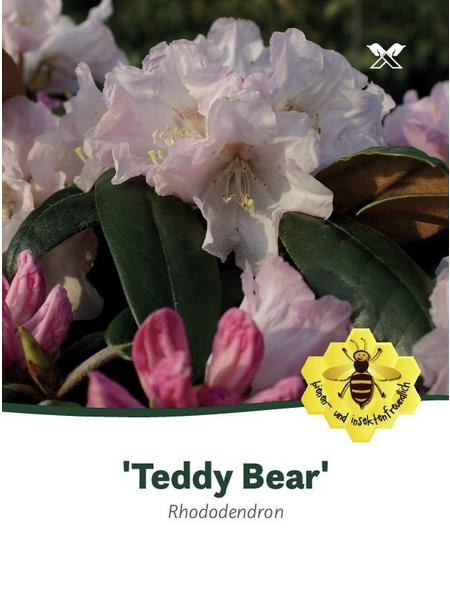 Rhododendron »Teddy Bear«, rosa, Höhe: 30 - 40 cm