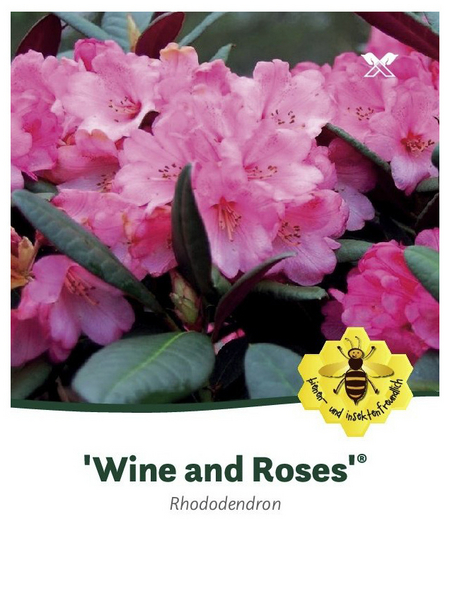 Rhododendron »Wine and Roses«, rosa, Höhe: 30 - 40 cm
