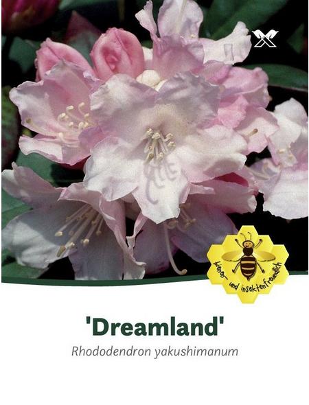 Rhododendron yakushimanum »Dreamland«, rosa, Höhe: 25 - 30 cm
