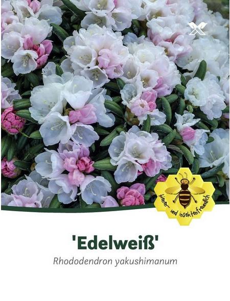 Rhododendron yakushimanum »Edelweiß«, weiß, Höhe: 25 - 30 cm