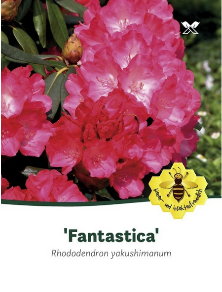 Rhododendron yakushimanum »Fantastica«, rosarot, Höhe: 25 - 30 cm
