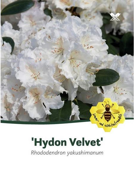 Rhododendron yakushimanum »Hydon Velvet«, weiß, Höhe: 30 - 40 cm