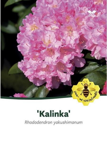 Rhododendron yakushimanum »Kalinka«, rosa/pink, Höhe: 25 - 30 cm