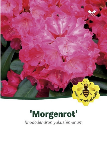 Rhododendron yakushimanum »Morgenrot«, rot, Höhe: 25 - 30 cm