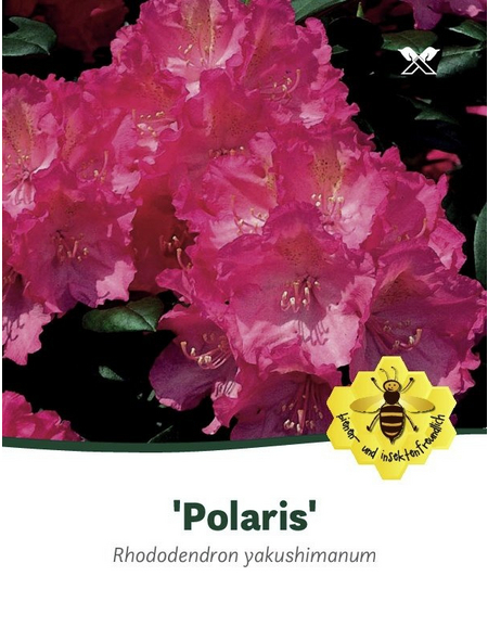 Rhododendron yakushimanum »Polaris«, rosa, Höhe: 25 - 30 cm