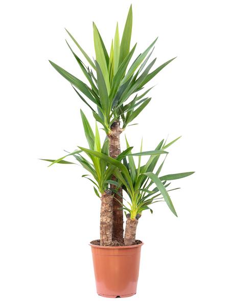 Riesen-Palmlilie Yucca elephantipes