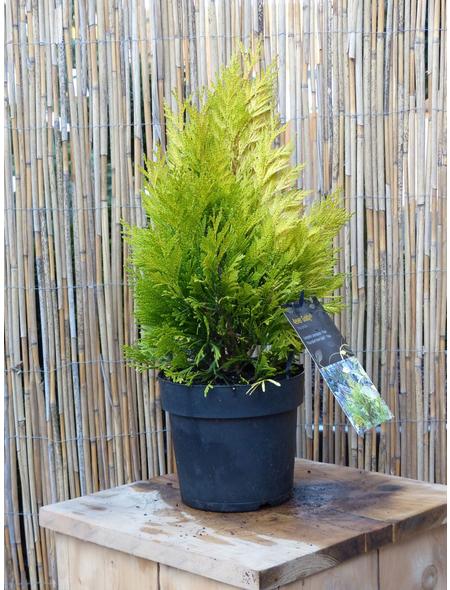 Riesenlebensbaum plicata Thuja »4Ever Goldy«