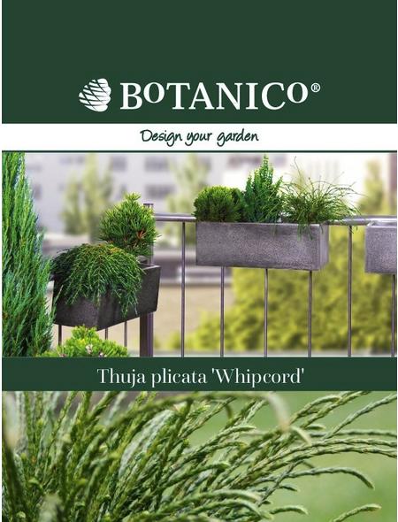 Riesenlebensbaum plicata Thuja »Whipcord«