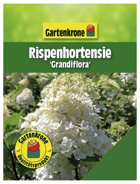 GARTENKRONE Rispenhortensie, Hydrangea paniculata »Grandiflora«, creme