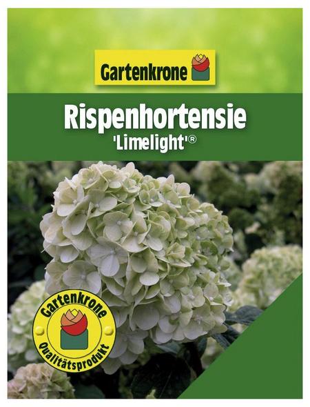 GARTENKRONE Rispenhortensie, Hydrangea paniculata »Limelight«, creme