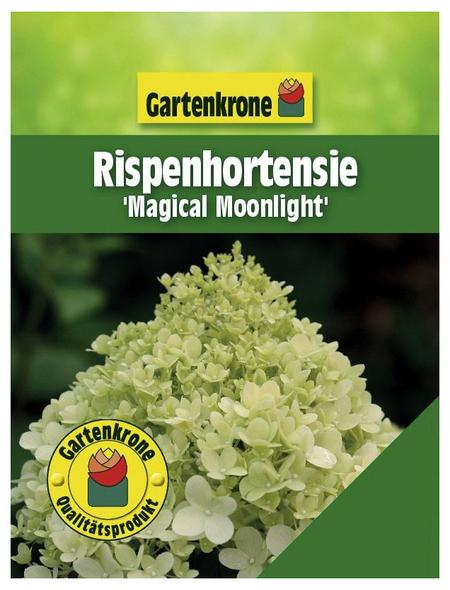 GARTENKRONE Rispenhortensie, Hydrangea paniculata »Magical Moonlight«, creme