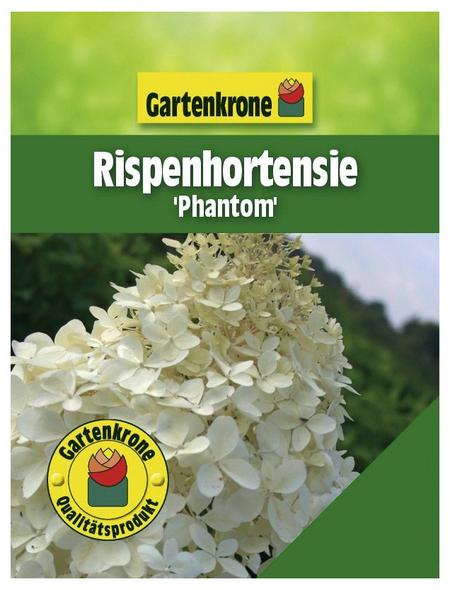 GARTENKRONE Rispenhortensie, Hydrangea paniculata »Phantom«, creme