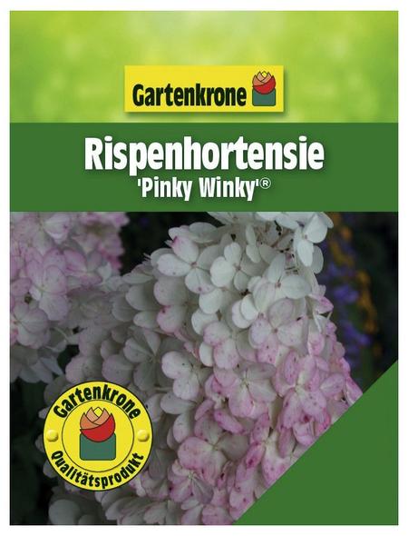 GARTENKRONE Rispenhortensie, Hydrangea paniculata »Pinky Winky«, creme