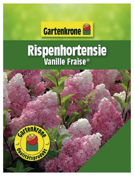 GARTENKRONE Rispenhortensie, Hydrangea paniculata »Vanille Fraise«, creme