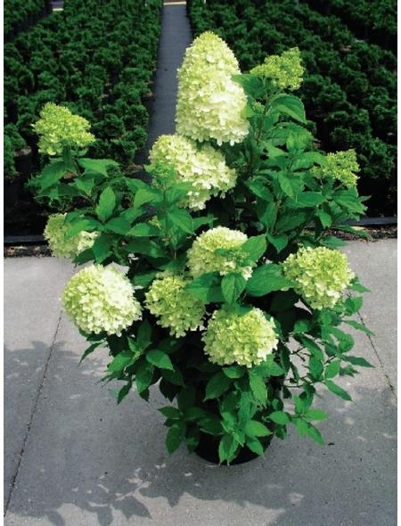 Rispenhortensie paniculata Hydrangea