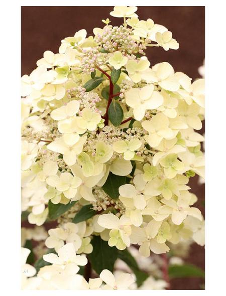 Rispenhortensie paniculata Hydrangea »Wims Red«
