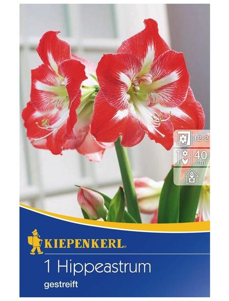 KIEPENKERL Ritterstern / Amaryllis x Hybrida Hippeastrum »Gestreift«