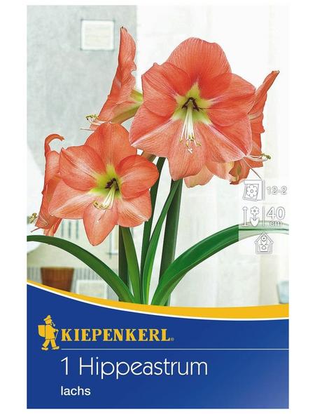 KIEPENKERL Ritterstern / Amaryllis x Hybrida Hippeastrum »Lachs «