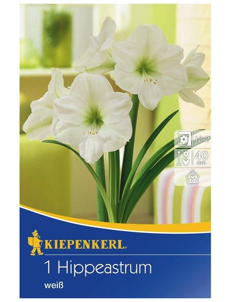 KIEPENKERL Ritterstern / Amaryllis x Hybrida Hippeastrum »Weiß «