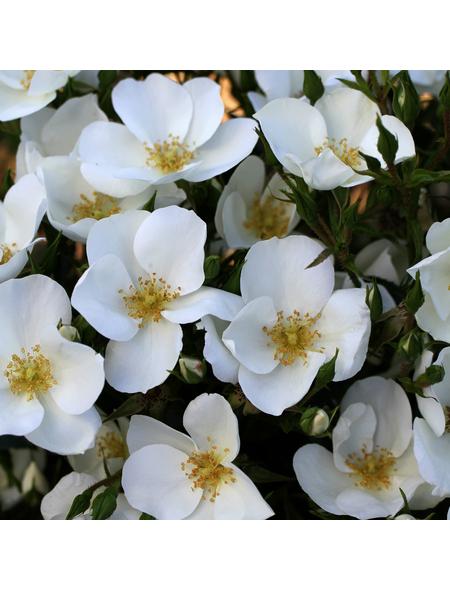 Rose »Escimo«, Blüte: