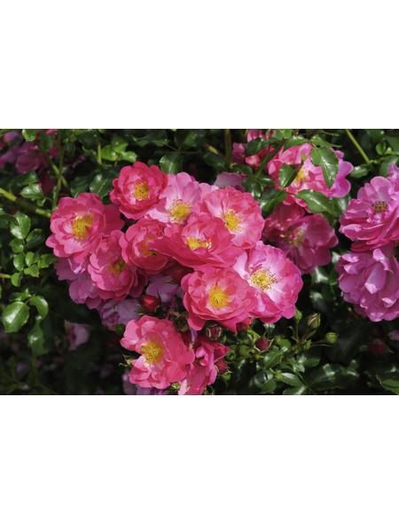 Rose »Hotline«, Blüte: