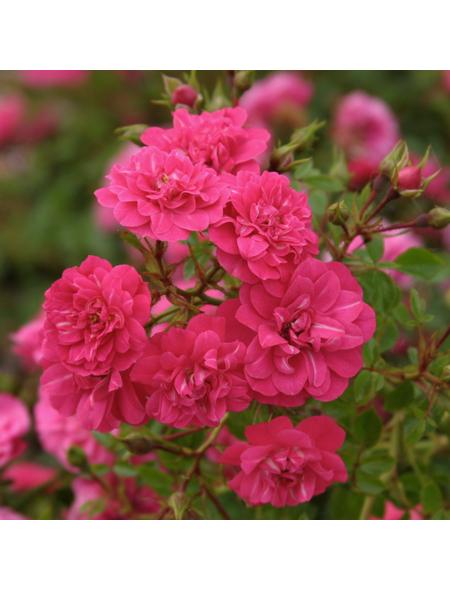 Rose »Knirps«, Blüte:
