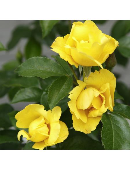 Rose »Lemon Fizz«, Blüte: