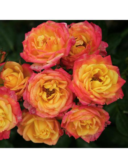 Rose »Little Sunset«, Blüte: